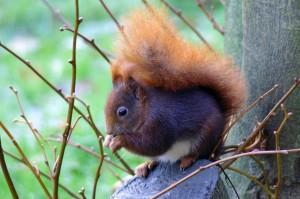 Eichhörnchen (c) Katja von  Münster