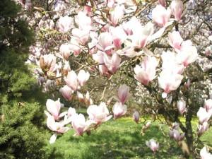 Magnolienblüte im Forstbotanischen Garten (c) G. Knauf-Golde