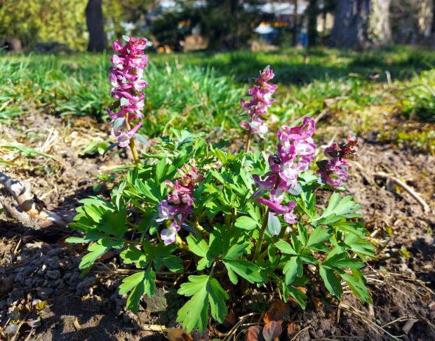 2021 03 31 Hohler Lerchensporn lila 2 klein 620x486 Hohler Lerchensporn im Naturpark Münden