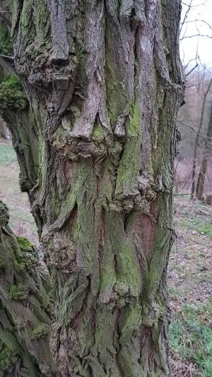 21_Robinie_im_Naturpark_M__nden__c__Philipp_Gru__