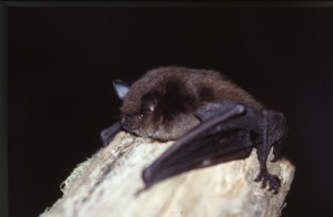 Breitflügelfledermaus (c) Gippel