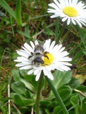 Wildbienen im Naturpark Münden (c) Sibylle Susat