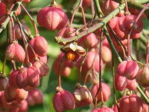 Knospn und Früchte im Herbst (c) Sibylle Susat
