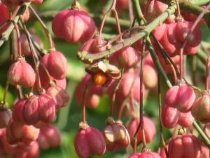 Knospen und Früchte im Herbst (c) Sibylle Susat
