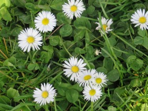 Gänseblümchen (c) Sibylle Susat