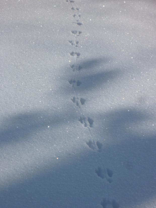 Eichhörnschenspur c Sibylle Susat Naturpark Münden 620x827 Tierspur im Schnee Naturpark Münden