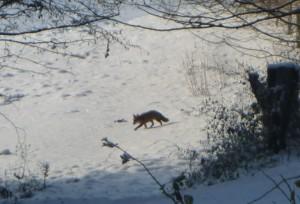 Fuchs im Winterwald (c) Sibylle Susat