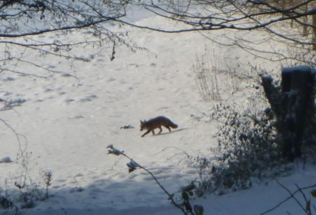 Fuchs im Winterwald c Sibylle Susat5 620x422 Fuchs im Winterwald
