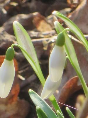 Schneeglöckchen (c) Sibylle Susat