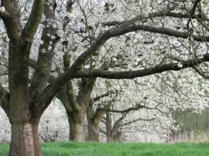 Kirschblüte im Naturpark Münden (c) Sibylle Susat
