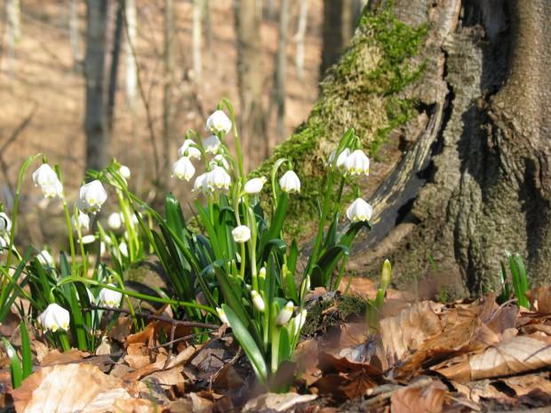 Märzenbecher c Sibylle Susat 620x465 Frühlingsvorfreude   Märzenbecher im Frühlingswald