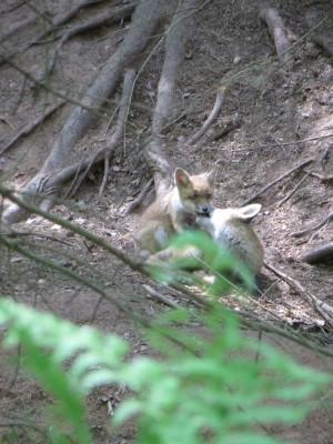Spielende Jungfüchse im Naturpark Münden (c) Sibylle Susat