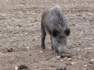 Wildschwein (c) Sibylle Susat