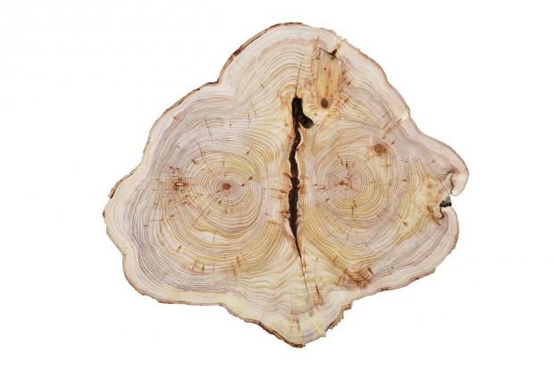 Baumscheibe1 JanLeßmann 620x413 Das Archiv der Bäume   Was Jahresringe uns erzählen können