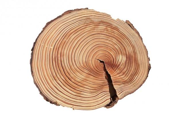 Baumscheibe2 JanLeßmann 620x413 Das Archiv der Bäume   Was Jahresringe uns erzählen können