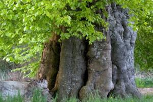 Buche bei Dobbin-FotoMonikaLawrenz3895