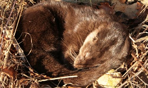 Fischotter schlafend koch beitrag Fischotter Monitoring im Naturpark