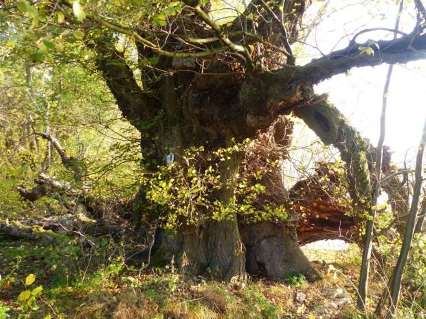Flatterulme Klocksin klein 620x465 Vortrag Alte Bäume im Naturpark von Ralf Koch