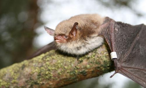 Fransenfledermaus beitrag Fledermäuse in alten Munitionsbunkern in Bossow