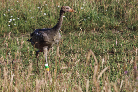 Jungvogel 2016 2237 Internationaler Kranich Beringungsworkshop