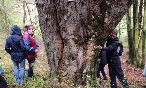 Kiefer bei Klleesten Naturdenkmal b Tag des Baumes