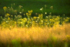 Sommerwiese im Abendlicht-FotoMonikaLawrenz9976