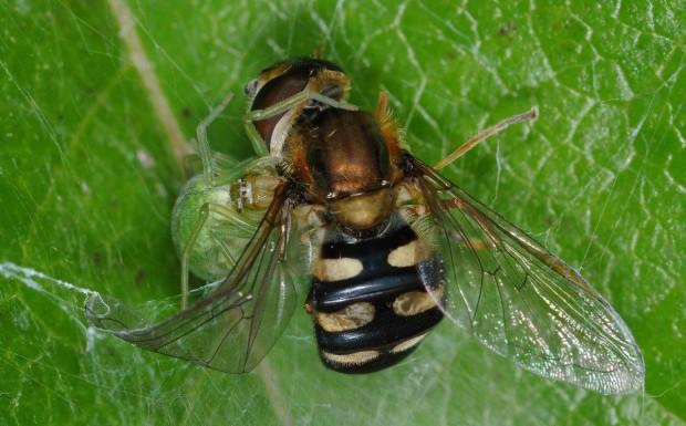 Spinne Schwebfliege Foto Polzin 620x385 Neue Ausstellung: 25 Einblicke in die Welt der Spinnen und Insekten