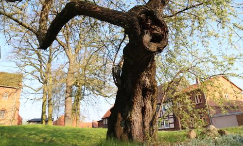 Steinweichsel Goldberg Koc beitrag Ein ungewöhnlicher Baum in Goldberg