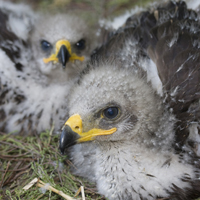 Schreiadlerküken im Nest, Aquila pomarina (Foto: DeutscheWildtierStiftung)