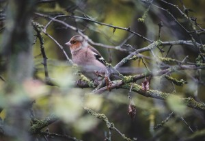 20191103 DSC03362 300x206 Monitoring häufiger Brutvögel im Naturpark