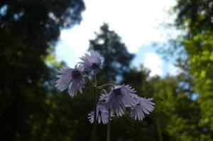 Arberbilder 042 300x199 Früh erwacht die erste Blütenpracht