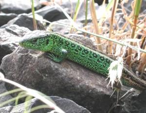 Eidechse 2 300x232 Reptilien im Landkreis Cham