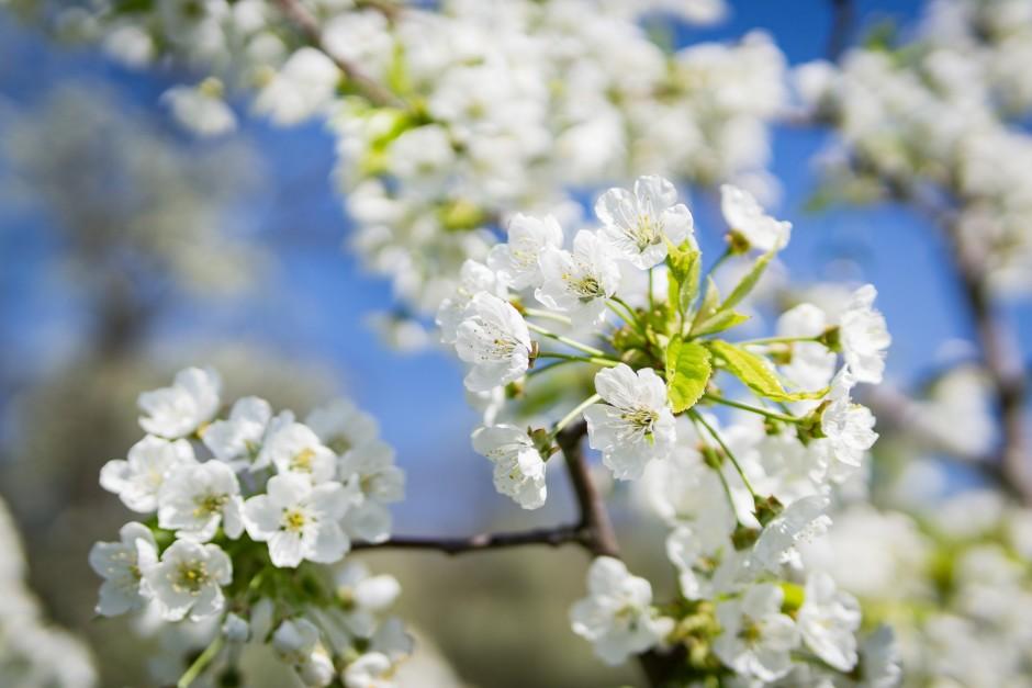Kirschblüte 1 klein 940x627 Die Vogelkirsche