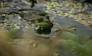 See Teichfrosch 300x184 Amphibienzäune für Erdkröte, Grasfrosch und Co.