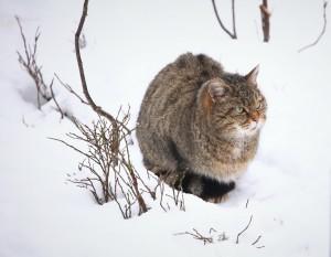 Wildkatze 1 klein 300x233 Die Wildkatze