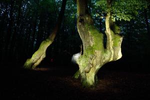 über 300 Jahre alter Gebückbaum am Wolfsrück