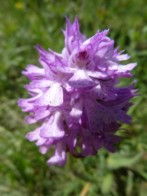 Bernhart 18 Orchideenführung Röder 4 300x400 Vortrag Bedrohte Schönheiten   Orchideen des Saale Unstrut Gebiets