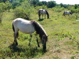 Breitenbach  Pferde als Landschaftspfleger 300x225 Familienwanderung in Hirschroda und Breitanbach (Droyßiger Zeitzer Forst)