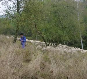 Hütebeweidung 300x273 Offenhaltung im Hirschorader Graben   2016