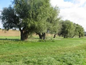 Kopfbaumweiden bei Burgscheidungen