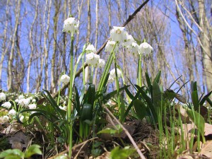 Märzenbecherblüte klein 300x225 Wanderung in die Märzenbecherblüte