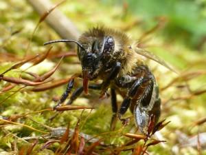 P1010180 Biene mit Zunge 300x225 Imkerschulung   Bienenhaltung im Jahresverlauf