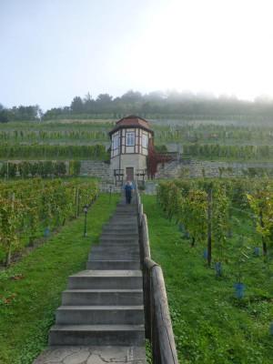 P1090229 300x400 Im Weinanbaugebiet Saale Unstrut geht die diesjährige Lese bereits in den Endspurt