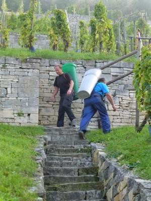 P1090234 300x400 Im Weinanbaugebiet Saale Unstrut geht die diesjährige Lese bereits in den Endspurt