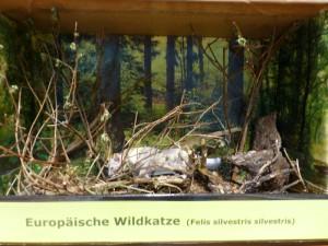 P1120461 lebensraum diorama 300x225 Die Wildkatze – Ein Wildtier kehrt zurück