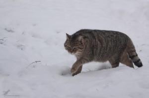 P Web WildkatzeWinter GernotPohl 300x199 Wildkatzenwanderung im Ziegelrodaer Forst
