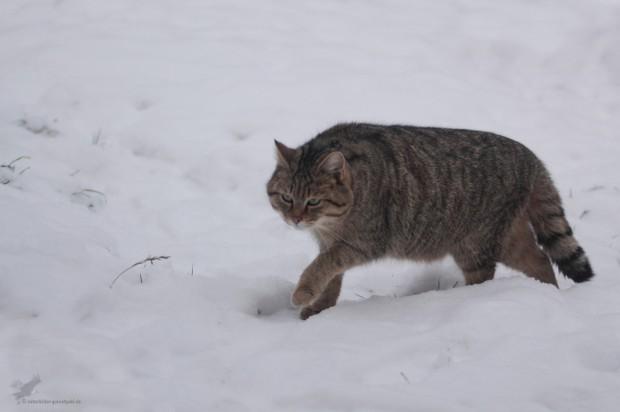 P Web WildkatzeWinter GernotPohl 620x412 Die Wildkatze kehrt zurück