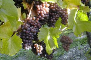 Weintraube im Herzoglichen Weinberg
