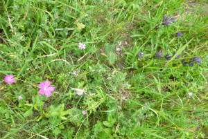 blühaspekte im Juli 300x201 Offenhaltung im Hirschorader Graben   2016