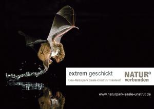 """extrem geschickt wasserfledermaus bei jagd 300x213 """"extrem munter""""   Fledermäuse im Geo Naturpark Saale Unstrut Triasland"""